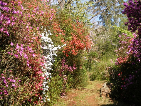 Azaleas on path to Trout fishing